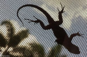 Lizard on window screen